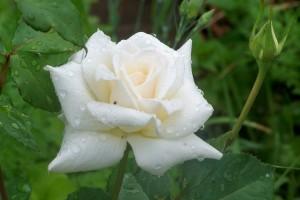 white rose.charlie