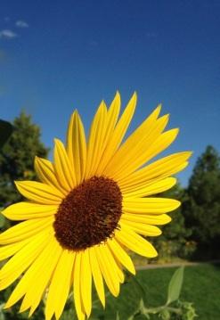 Sunflower.medium